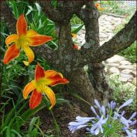 チコリの花<今朝の庭6/26>