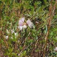 シャクナゲ平の花
