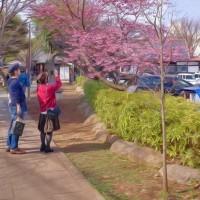 2017.03.20 中野区 新井天神北野神社: 「プリンセス雅子」満開!