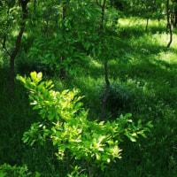 チョウジソウの咲く林床