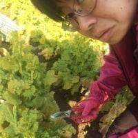 🌹菜の花の収穫🌹