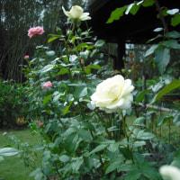香りのよい 白系バラの 「イクセクローンスペリオン」