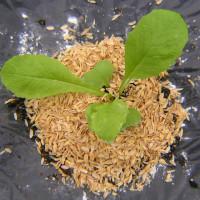 蕪(カブ)栽培2016年秋、最終間引き、殺菌剤、害虫が