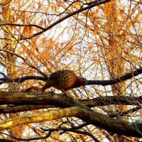 メタセコイアの枝には・・・