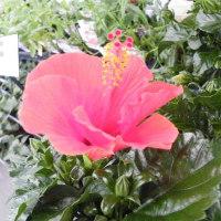 赤のハイビスカスと淡い紫のバラ