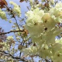 色とりどりの桜 in 三神峯公園