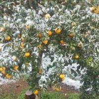 雪!  3月半ばに伊豆の山は雪の朝。