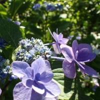 八重紫陽花、変わり咲き、いろとりどりの紫陽花、七変化。