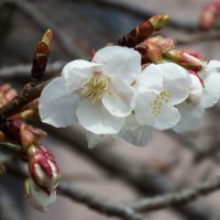 茨城大農学部美しい白い桜