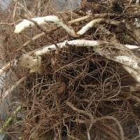 内科医も認める 菊芋の力~血糖値が改善 2の① 菊芋の成長状態
