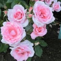 「蜻蛉公園・薔薇まつり」