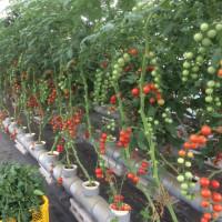 トマト狩り絶好調開催中