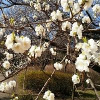 """我が花粉症(Part3)/四横綱の春場所始まる/""""春本番近し""""を撮る"""