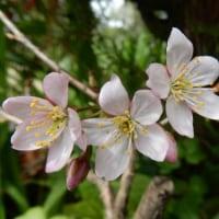 桜は開花しましたか。