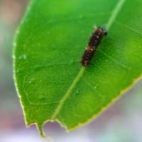 アゲハの幼虫観察日記五日目