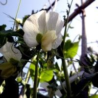そら豆、エンドウの花が咲く