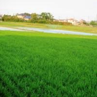 緑一面の稲田