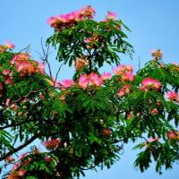 咲く花ネムノキ