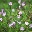 <シチョウゲ(紫丁花)> 紫色の小花が愛らしい日本固有種