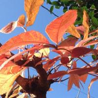 目薬の木の紅葉