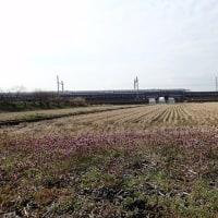田圃の植物:田圃の植物:新幹線とホトケノザ