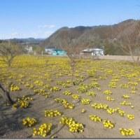 福寿草の畑