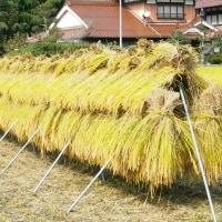 稲刈りは天気次第。