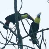 2羽のニショクキムネオオハシがお互いを掻いて