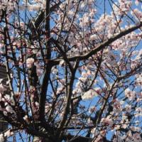 2017年3月22日 水曜日 桜が開花