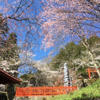 今日も桜を見るためにあっちにこっちに