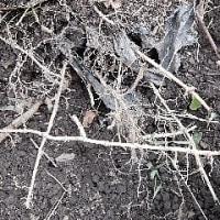 笹の根再び