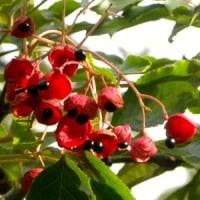 ゴンズイの赤い実がたくさん