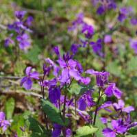 今日の春は紫…カタクリも本格的に咲きだした様だ