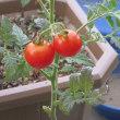 収穫直前鉢植えトマト