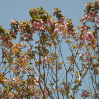 晴れた空に 八重桜