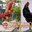 Perbedaan Ayam Kampung Dengan Ayam jago bangkok Asli Aduan