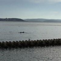 能登島の自宅前でイルカが泳いでる