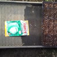 キャベツ播種
