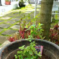 ブルーベリー植え付けました。
