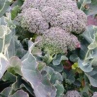 明日はブロッコリーの収穫体験できます‼