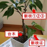 桜盆栽 挿し木してみよう\(^▽^)/
