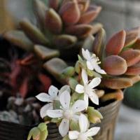 スプリングワンダーの花