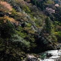 渓流に咲く山桜