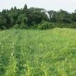 トウモコシ畑