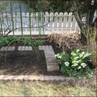 鉢植え芍薬を地植えに★ヤシャブシその後