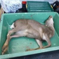 1月3日有害鳥獣捕獲「鹿」