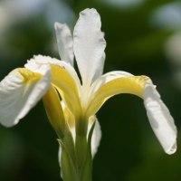 庭の花 アヤメ