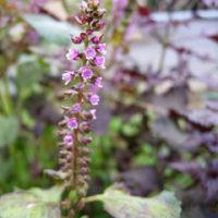 紫蘇の花咲いた