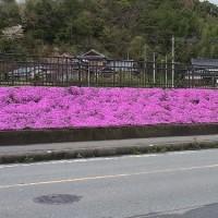 満開の芝桜