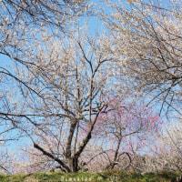 青空と梅林と春の香り。